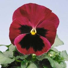 Виола витроока Целло красная с глазком /100 семян/ *Hem Genetics*