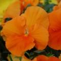 Виола витроока Целло оранжевая /100 семян/ *Hem Genetics*