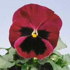 Виола Целло розовая с глазком /100 семян/ *Hem Genetics*