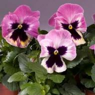 Виола Целло розовая с прожилками /100 семян/ *Hem Genetics*