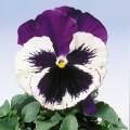 Виола Целло синяя борода /100 семян/ *Hem Genetics*