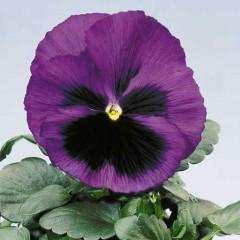 Виола витроока Целло синяя с глазком /100 семян/ *Hem Genetics*