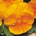 Виола витроока Матрикс F1 оранжевая /100 семян/ *Pan American*
