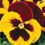 Виола витроока XXL F1 красная с желтым крылом /100 семян/ *Pan American*