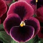 Виола витроока XXL F1 розовая с глазком /100 семян/ *Pan American*