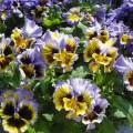 Виола витроока Фризли Сизли F1 желто-синяя /100 семян/ *Pan American*