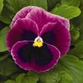 Виола витроока Маммут F1 розовая ягода /100 семян/ *Syngenta Seeds*