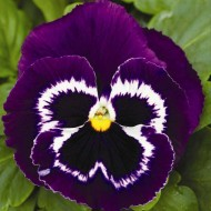 Виола витроока Маммут F1 вива ла вайлет /100 семян/ *Syngenta Seeds*