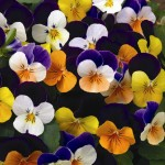 Виола корнута Пенни F1 смесь /100 семян/ *Syngenta Seeds*