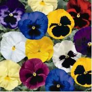 Виола витроока Дельта F1 смесь /100 семян/ *Syngenta Seeds*