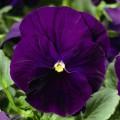 Виола Дельта F1 фиолетовая /100 семян/ *Syngenta Seeds*