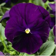 Виола витроока Дельта F1 фиолетовая /100 семян/ *Syngenta Seeds*