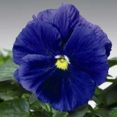 Виола витроока Дельта F1 голубая /100 семян/ *Syngenta Seeds*