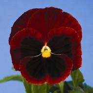 Виола витроока Дельта F1 красная с глазком /100 семян/ *Syngenta Seeds*