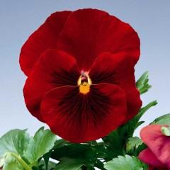 Виола витроока Дельта F1 красная /100 семян/ *Syngenta Seeds*