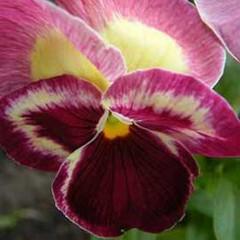 Виола витроока Дельта F1 ягодная /100 семян/ *Syngenta Seeds*