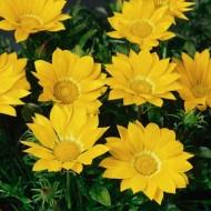Газания Газу F1 желтая /100 семян/ *Syngenta Seeds*