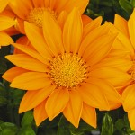 Газания Газу F1 оранжевая /100 семян/ *Syngenta Seeds*