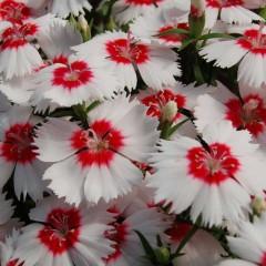 Гвоздика Диана F1 белая с красным глазком /100 семян/ *Hem Genetics*