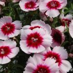 Гвоздика Диана F1 белая с пурпурным глазком /100 семян/ *Hem Genetics*