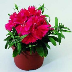 Гвоздика Диана F1 розовая с прожилками /100 семян/ *Hem Genetics*