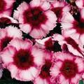Гвоздика Супер Парфайт F1 малиновая /100 семян/ *Syngenta Seeds*