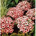 Гвоздика Супер Парфайт F1 клубничная /100 семян/ *Syngenta Seeds*