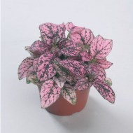 Гипоэстес Конфетти розовый /100 семян/ *Sakata*