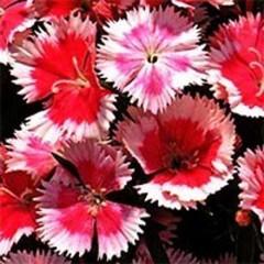 Гвоздика Дульче F1 смесь /100 семян/ *Syngenta Seeds*