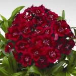 Гвоздика Диабунда F1 красная /100 семян/ *Syngenta Seeds*