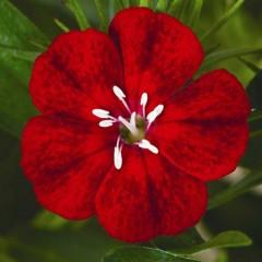 Гвоздика Диабунда F1 кримсон /100 семян/ *Syngenta Seeds*