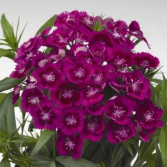 Гвоздика Диабунда F1 пурпурная /100 семян/ *Syngenta Seeds*