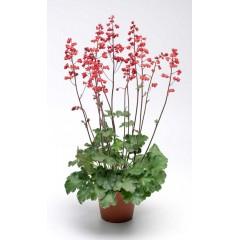 Гейхера Корал Форест /200 семян/ *Syngenta Seeds*