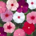 Катарантус Сан Шторм F1 смесь /100 семян/ *Syngenta Seeds*
