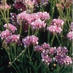 Кермек Розовое сияние /5 грамм/ *Hem Zaden*