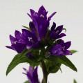 Колокольчик скученный Бельфлер синий /1.000 семян/ *Syngenta Seeds*