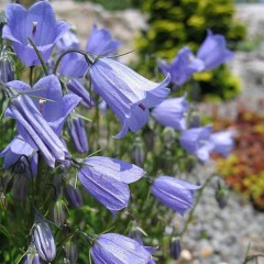 Колокольчик спиральнолистный Свингнинг Белс синий /200 семян/ *Syngenta Seeds*