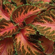 Колеус Визард Корал Санрайз /100 семян/ *Pan American*