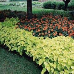Колеус Визард Голден /100 семян/ *Pan American*