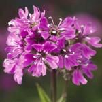 Лихнис альпийский Лара F1 розовый /200 семян/ *Syngenta Seeds*