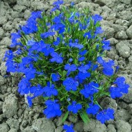 Лобелия Кобальт синяя /200 семян/ *Pan American*