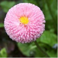 Маргаритка Помпон розовая /1.000 семян/ *Hem Zaden*