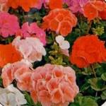 Пеларгония Бордюр красная /100 семян/ *Hem Zaden*