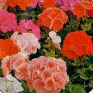 Пеларгония зональная Бордюр красная /100 семян/ *Hem Zaden*