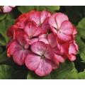 Пеларгония зональная Пинто F1 двухцветная /100 семян/ *Syngenta Seeds*