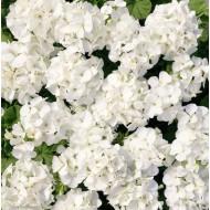 Пеларгония зональная Мультиблум F1 белая /100 семян/ *Syngenta Seeds*