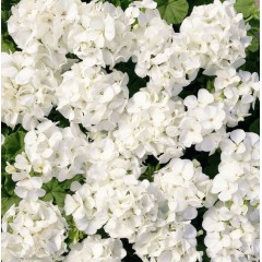 Пеларгония Мультиблум F1 белая /100 семян/ *Syngenta Seeds*