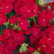 Пеларгония Мультиблум F1 красная /100 семян/ *Syngenta Seeds*