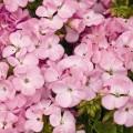 Пеларгония зональная Мультиблум F1 лавандовая /100 семян/ *Syngenta Seeds*