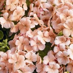 Пеларгония Мультиблум F1 лососевая /100 семян/ *Syngenta Seeds*